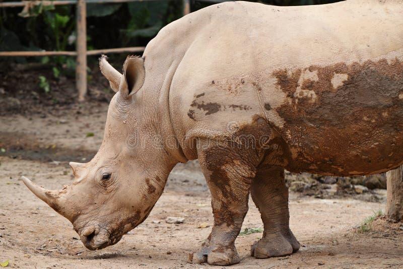 Download Noshörning fotografering för bildbyråer. Bild av afrikansk - 27279759