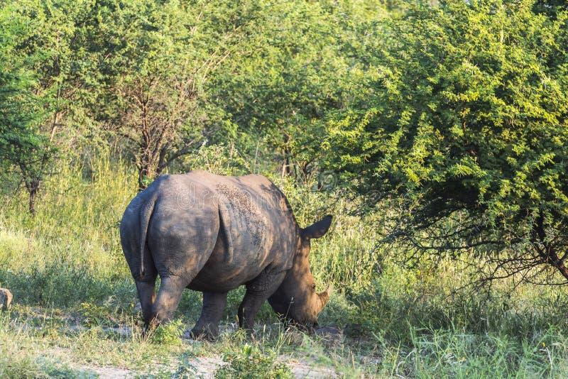 Noshörning i busken av den Kruger nationalparken i aftonen arkivfoton