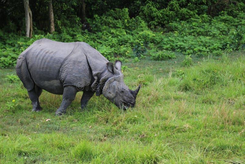 Noshörning i Forestet Park i chitwan, Nepal arkivfoton