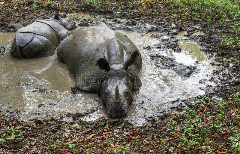 Noshörning i Nepal royaltyfri foto