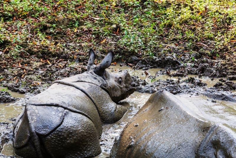 Noshörning i Nepal fotografering för bildbyråer