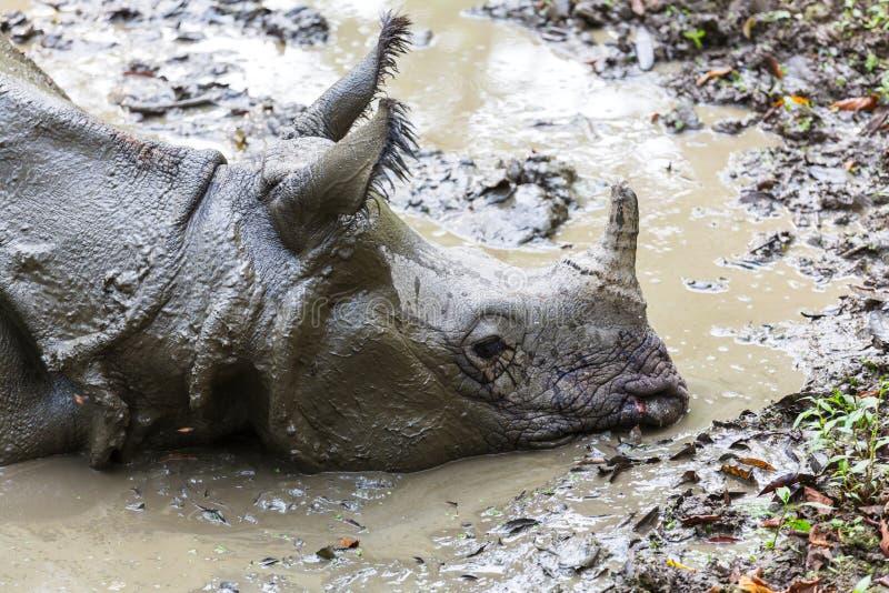 Noshörning i Nepal royaltyfri fotografi