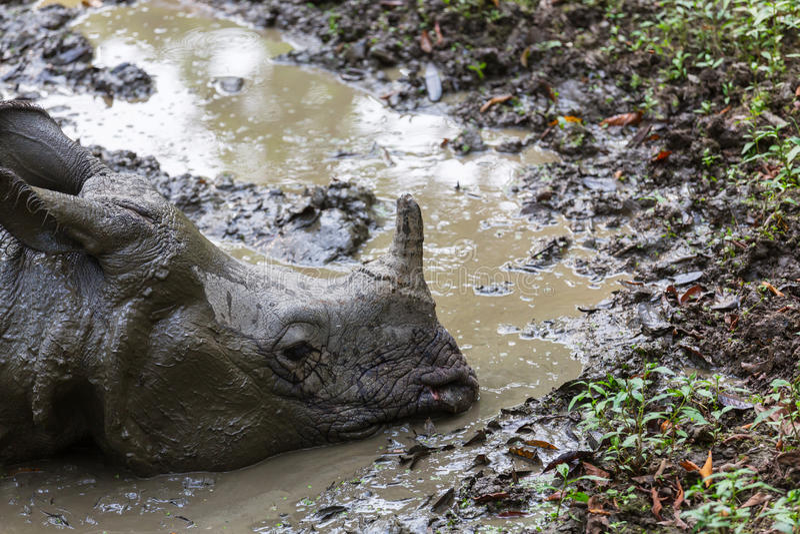 Noshörning i Nepal arkivbilder