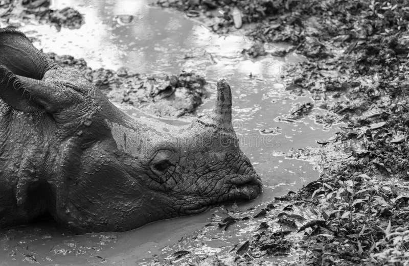 Noshörning i Nepal arkivfoto