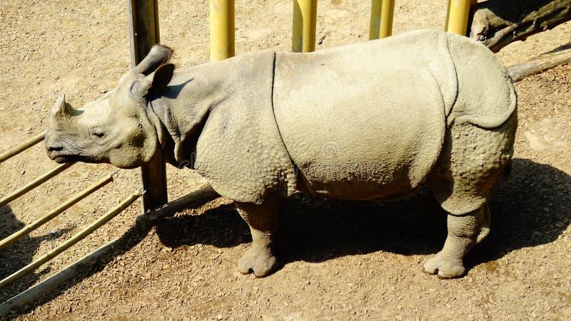 Noshörning i zoo royaltyfria bilder