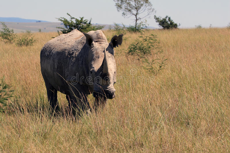 Noshörning noshörning, Kruger nationalpark africa near berömda kanonkopberg den pittoreska södra fjädervingården royaltyfria bilder