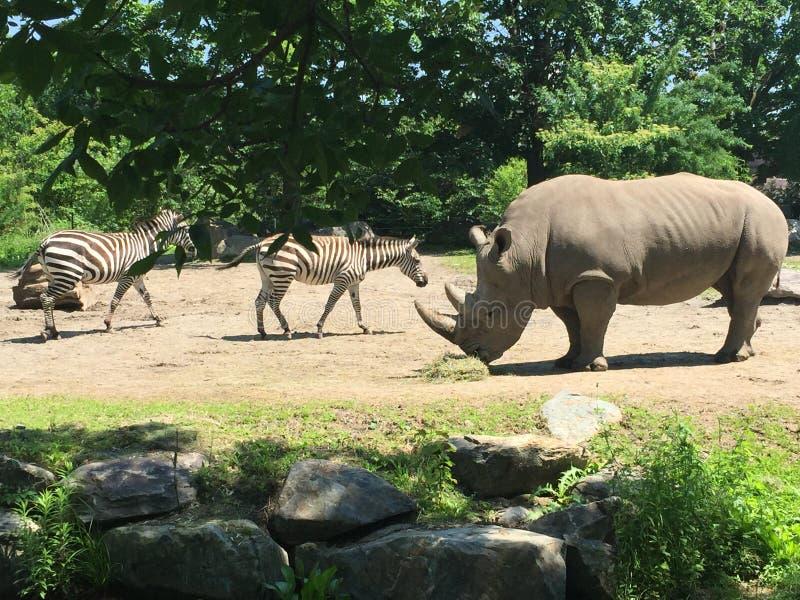 Noshörning och sebravän på zoo arkivbild