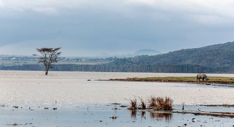 Noshörning på kusten av en sjö royaltyfri fotografi