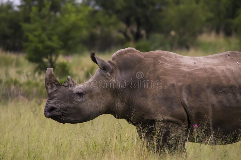 Noshörning som går över vägen arkivbild