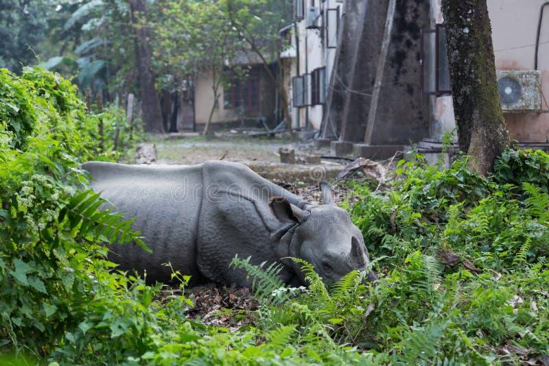 Noshörning som ligger i en byträdgård, Chitwan nationalpark, Nepal arkivbild