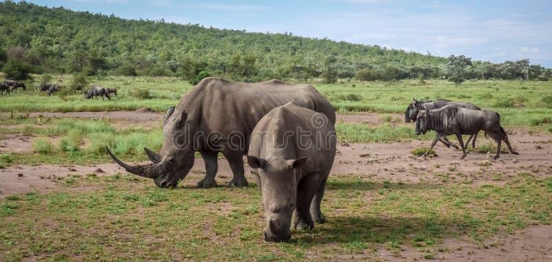 Noshörningar och gnu äter gräs på savannahen fotografering för bildbyråer