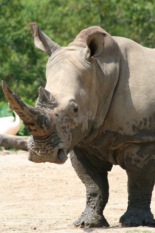 noshörningbuse royaltyfri fotografi