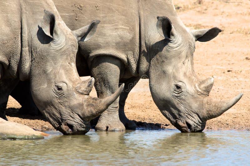 Noshörningdricksvatten royaltyfri fotografi