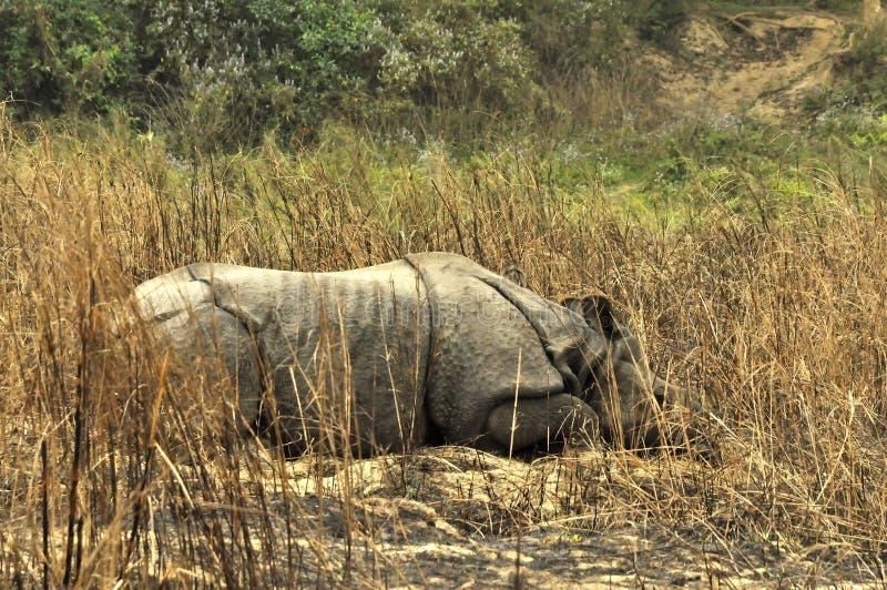 Noshörningen är sovande Djurliv safari på gränsen av Nepal och royaltyfri fotografi