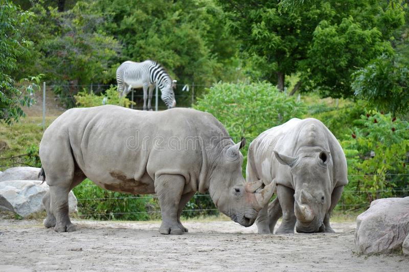 Noshörningförälskelse arkivfoto