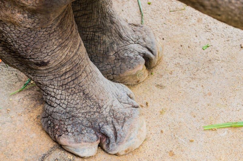 Noshörningfot. royaltyfria bilder