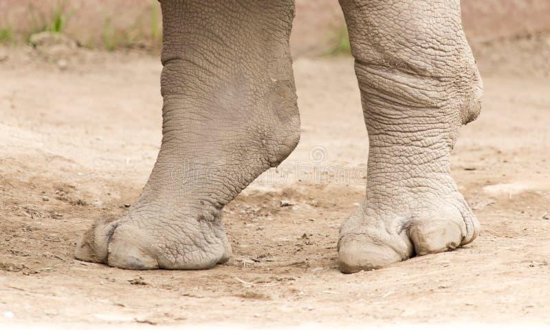 Noshörningfot på jordningen i natur royaltyfria bilder