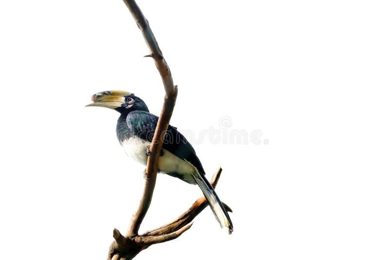 Noshörninghornbill, nationell fågel för a-malaysian som står på snitt royaltyfri bild