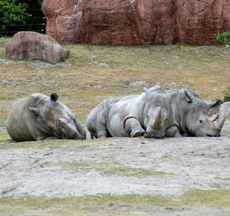 Noshörningtrio royaltyfri fotografi