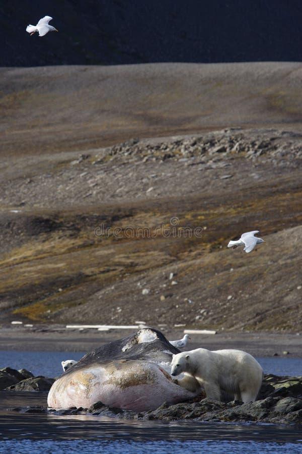 nosi sperma polarny się wieloryba do prania zdjęcia stock