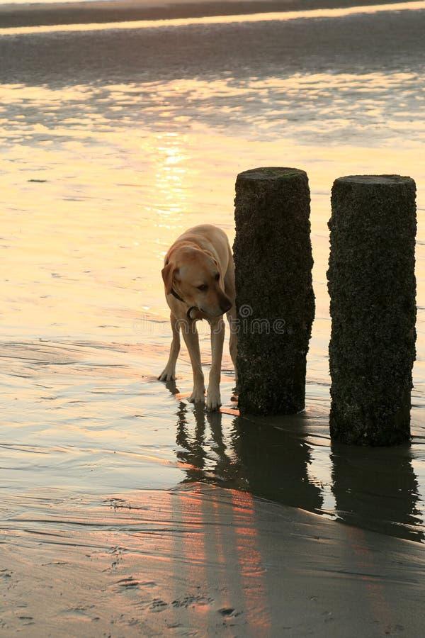 Nosing Dog During Sunset Stock Photo