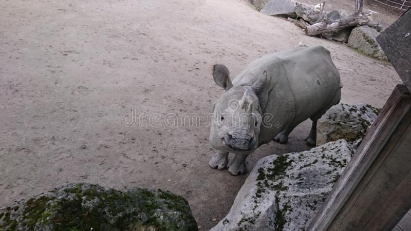 nosorożec fotografia stock