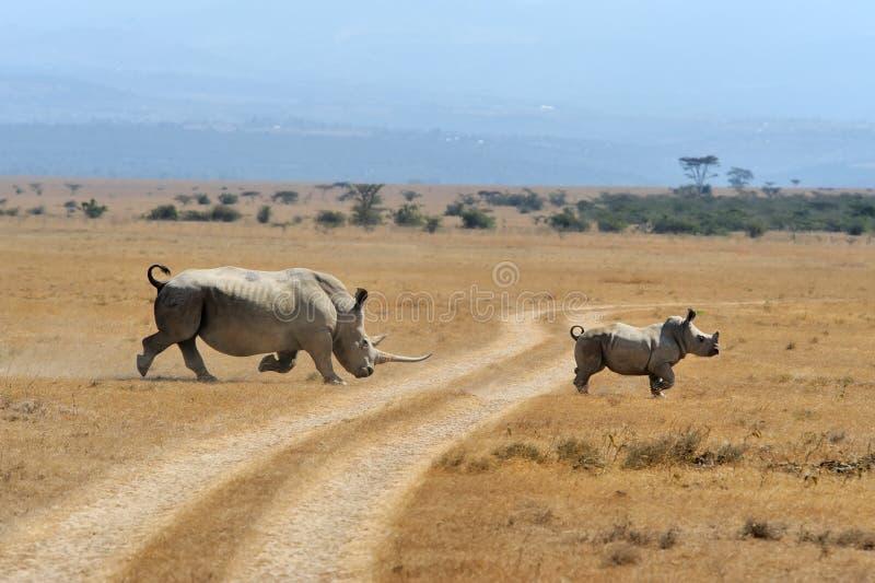 nosorożec afrykańska white zdjęcie stock