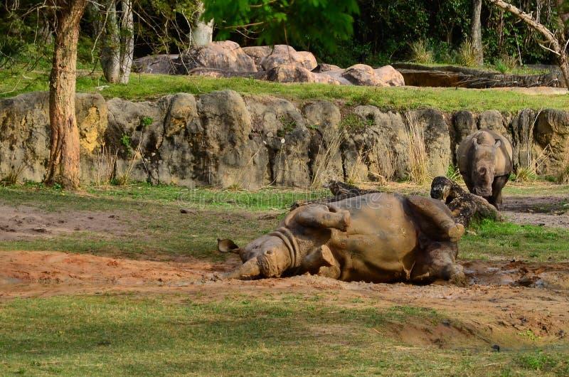 Nosorożec bierze borowinowego skąpanie obrazy stock