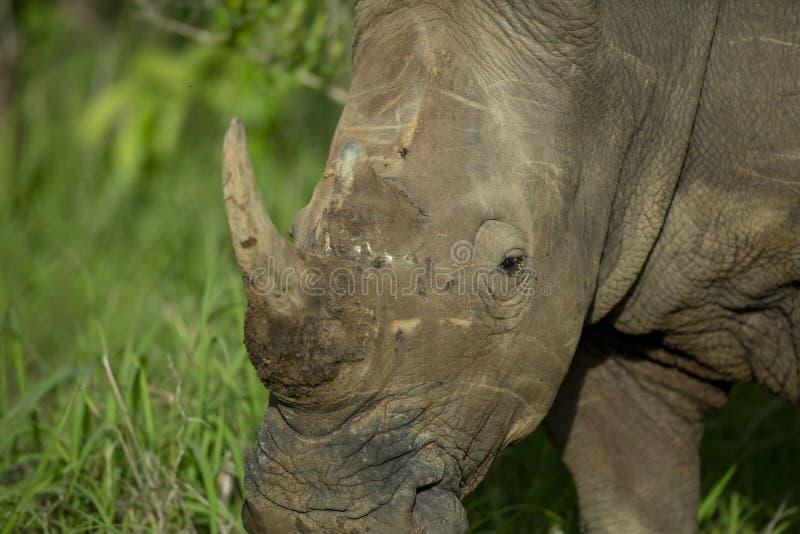 Nosorożec byk z rogiem obrazy royalty free