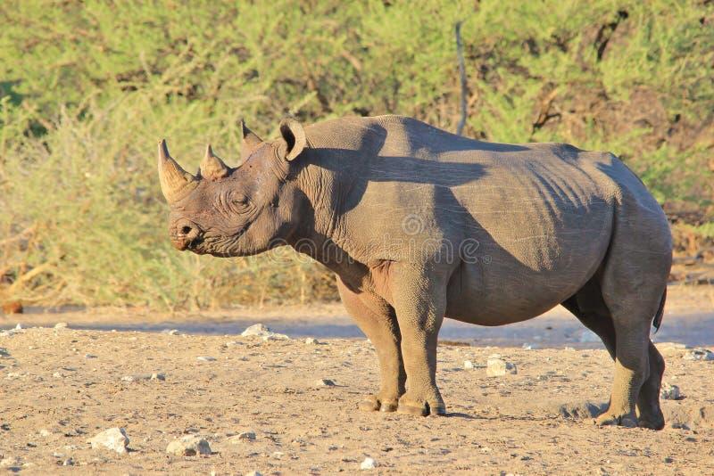 Nosorożec, czerń i zagrożoni gatunki, - przyrody Rzadki tło, Afryka fotografia royalty free