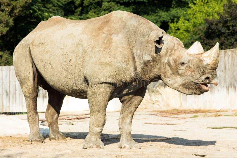 Nosorożec nosorożec zoo zwierzę dziki obrazy stock