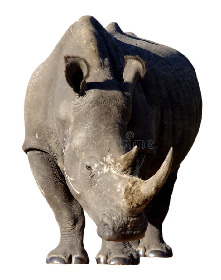 nosorożec odosobnione white fotografia stock