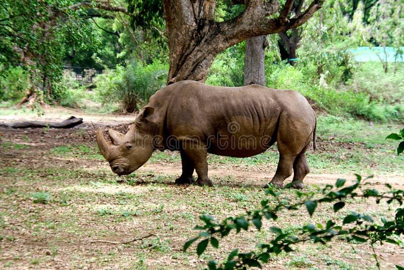 Nosorożec przy parkiem w Mysuru obraz royalty free