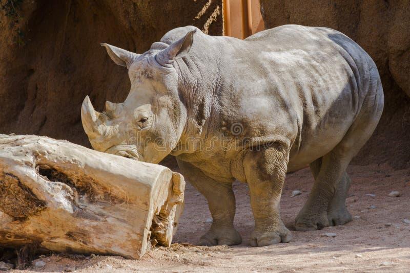 Nosorożec przy zoo zdjęcie stock