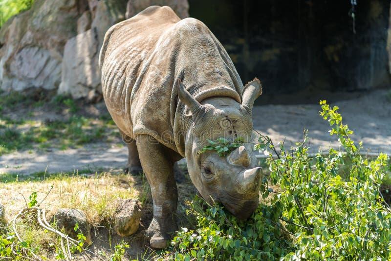 Nosorożec przy zoo fotografia royalty free