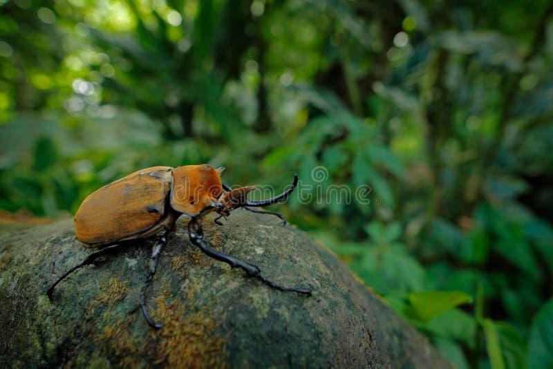 Nosorożec słonia ściga, Megasoma elephas, bardzo duży insekt od lasu tropikalnego w Caostarica Ściga jest usytuowanym na drzewnym obrazy stock