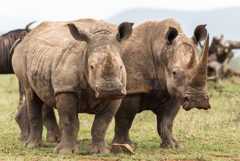 Nosorożec stoi wpólnie obraz stock