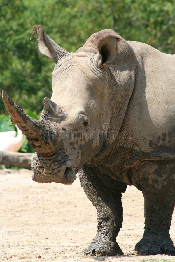 nosorożec twarda fotografia royalty free