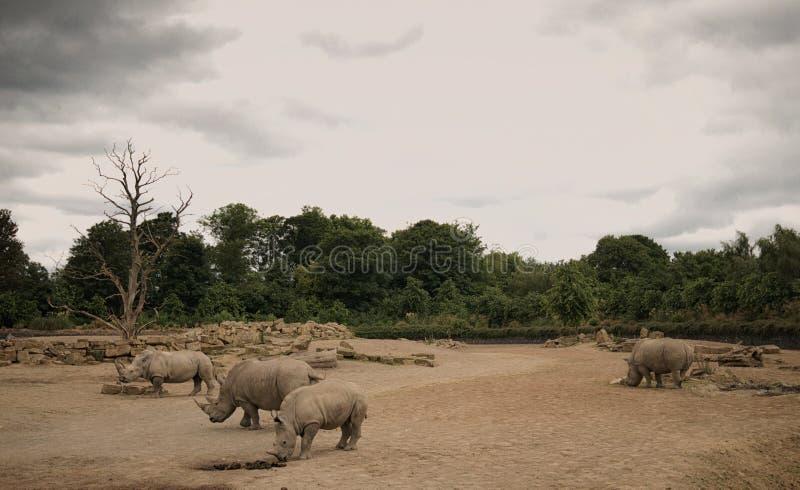 Nosorożec w góry Kenja parku narodowym zdjęcia stock