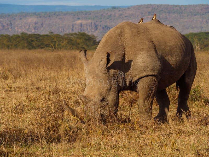 Nosorożec w Masai Mara parku, Kenja fotografia royalty free