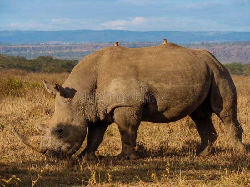 Nosorożec w Masai Mara parku, Kenja zdjęcia royalty free