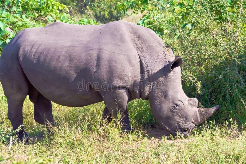 Nosorożec, zbliżenie dzika nosorożec, nosorożec, w Południowa Afryka fotografia royalty free