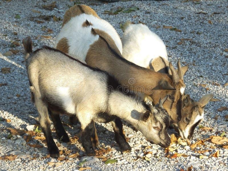 Nosotros tres - cabra nacional con los niños (hircus del aegagrus del Capra) imagenes de archivo