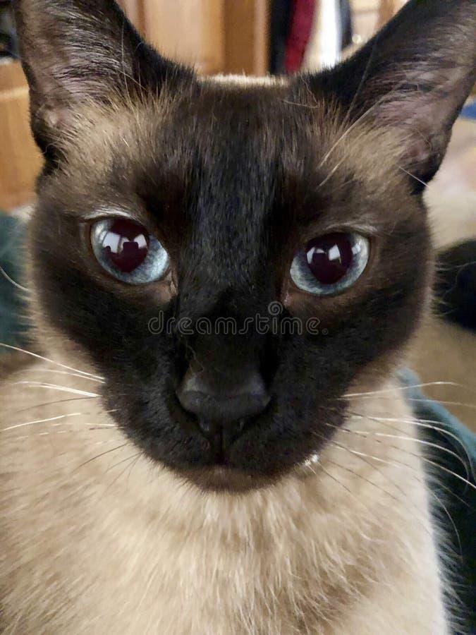 Nosso gato Siamese nomeou Gato foto de stock