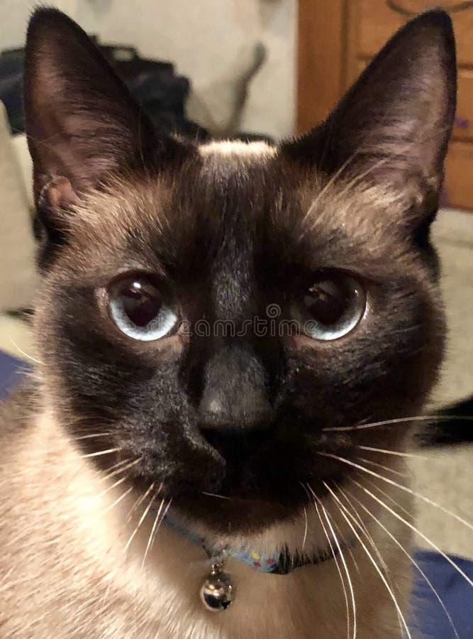Nosso gato Siamese nomeou Gato fotografia de stock royalty free