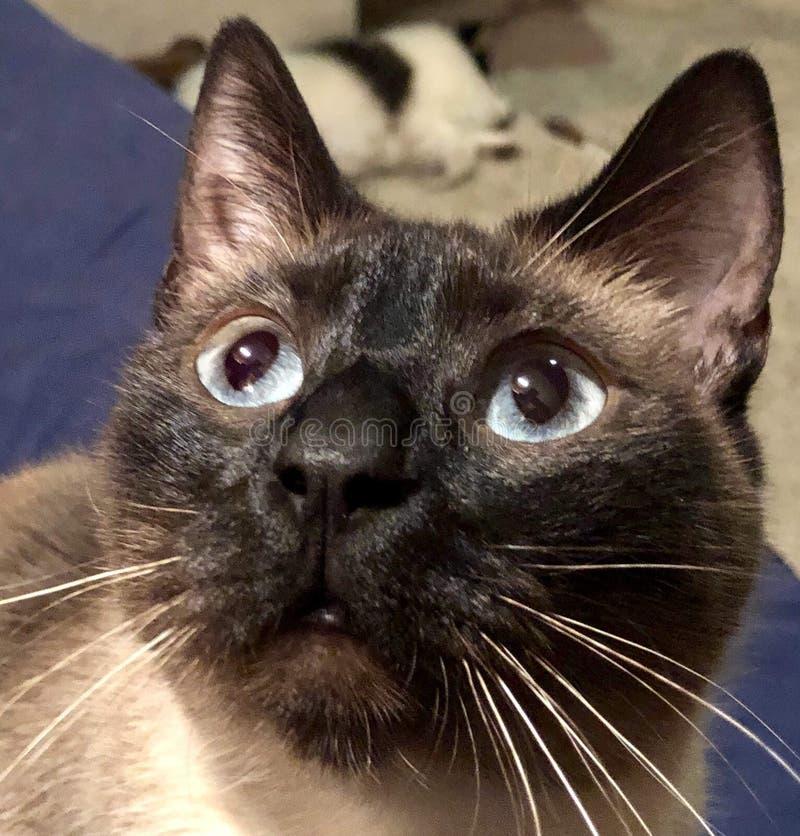 Nosso gato Siamese nomeou Gato imagem de stock