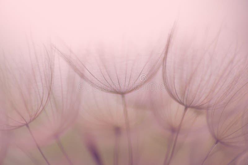 Nostalgiczny Dandelion kwiat, krańcowy zbliżenie, abstrakcjonistyczny tło fotografia stock