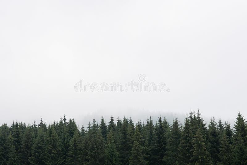 Nostalgisch naaldbos met sparren en lariksenboombovenkanten tegen nevelige hemel Exemplaarruimte voor tekst De bergen van Stierma stock fotografie