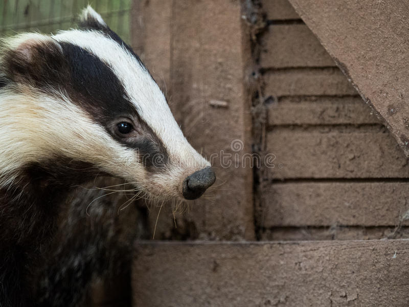 Nosy badger Meles meles in a country house stock photo