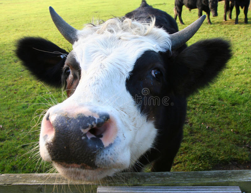 Nosy cow's head. royalty free stock photography